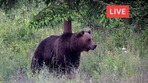 live animal cam bear deer boar fox wolf birds wildlife transylvania romania europe